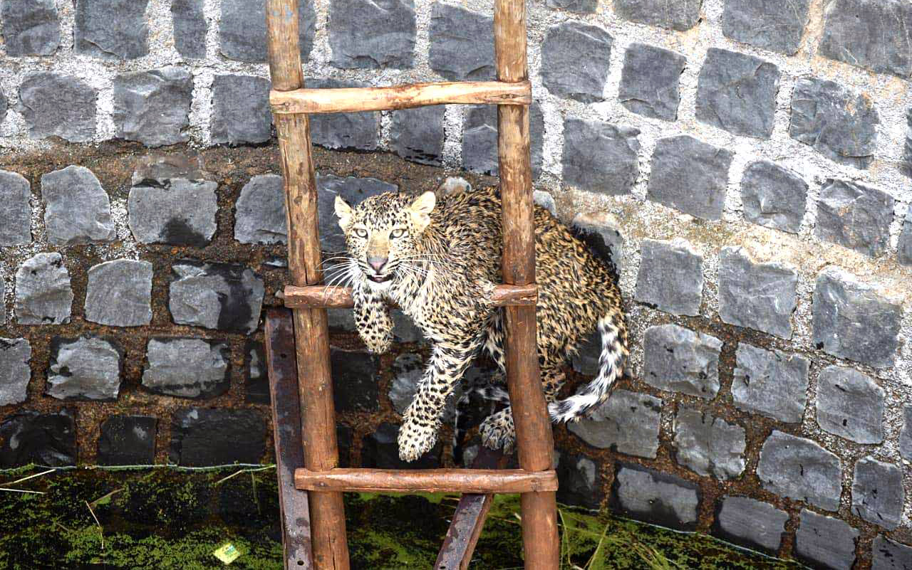 Forest officials rescue a Leopard which fell into a well at a farmer's field in Kherai village, in Guna district on Sunday.